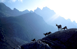 Chamois in the High Tatras - from the movie The High Tatras -  a Wilderness Frozen in Time